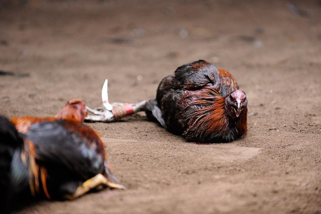 Pilih ras ayam terkuat